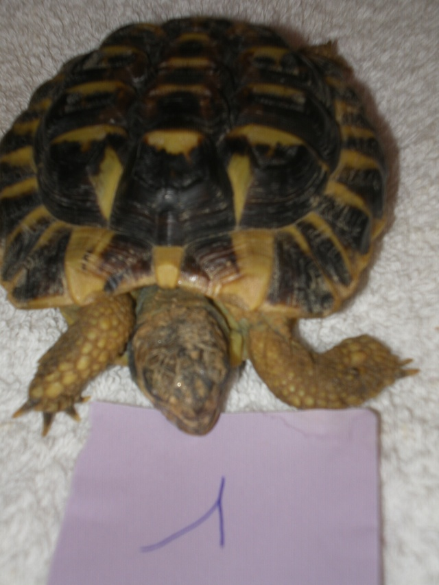 Vérote : présentation de mes 8 tortues pour identification / N° 1, 2 (BOUTON et PRESSION) Imgp0017