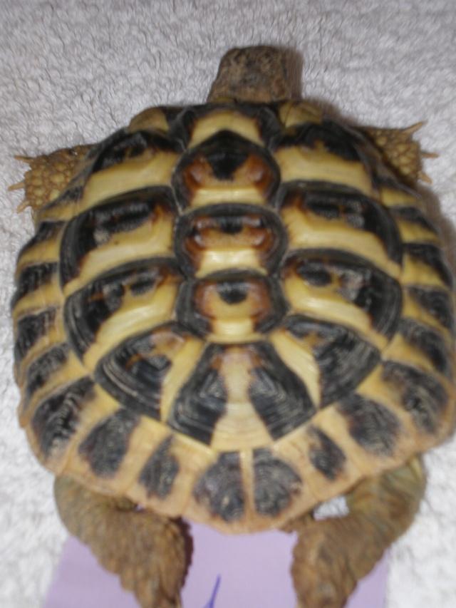 Vérote : présentation de mes 8 tortues pour identification / N° 1, 2 (BOUTON et PRESSION) Imgp0018