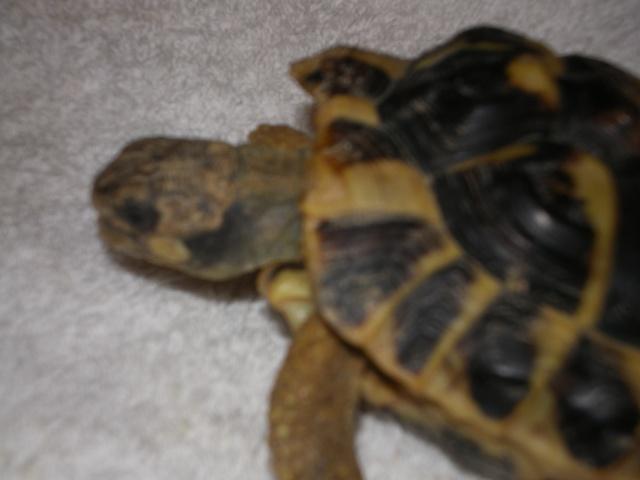 Vérote : présentation de mes 8 tortues pour identification / N° 1, 2 (BOUTON et PRESSION) Imgp0019