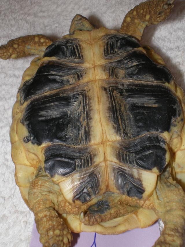 Vérote : présentation de mes 8 tortues pour identification / N° 1, 2 (BOUTON et PRESSION) Imgp0021