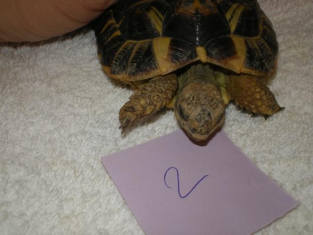 Vérote : présentation de mes 8 tortues pour identification / N° 1, 2 (BOUTON et PRESSION) Imgp0022