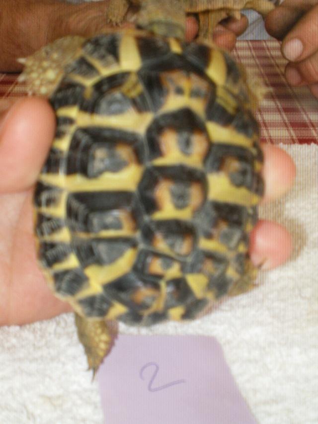 Vérote : présentation de mes 8 tortues pour identification / N° 1, 2 (BOUTON et PRESSION) Imgp0024