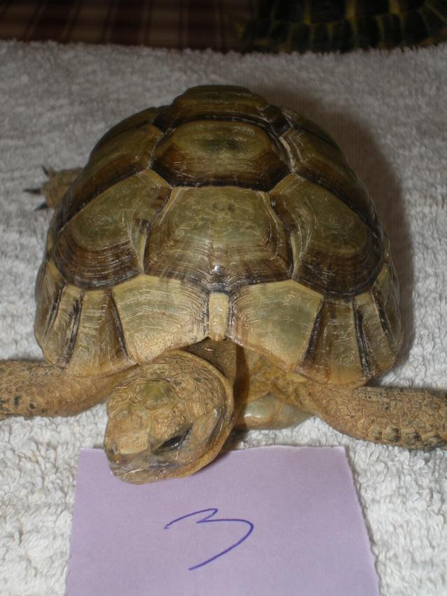 Vérote : présentation de mes 8 tortues pour identification / N° 3 Imgp0027