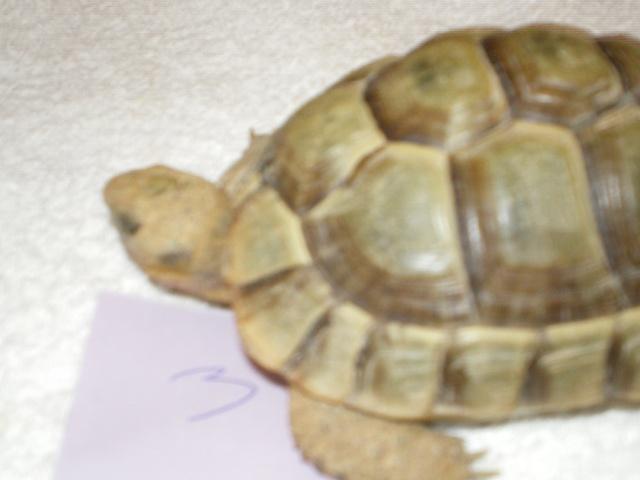 Vérote : présentation de mes 8 tortues pour identification / N° 3 Imgp0028