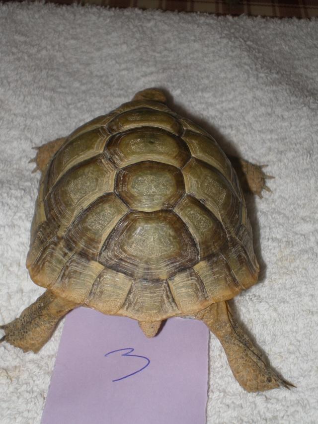 Vérote : présentation de mes 8 tortues pour identification / N° 3 Imgp0029