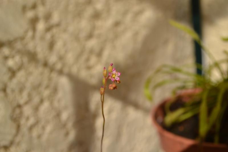 Fleur Natalensis Dsc_0035