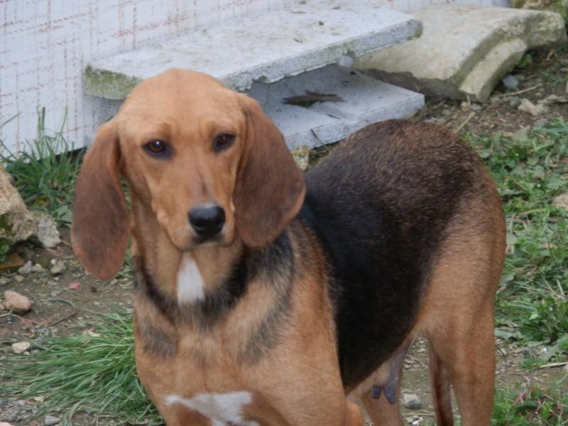 FICELLE - Femelle - X beagle - 4 ans  Beagle18
