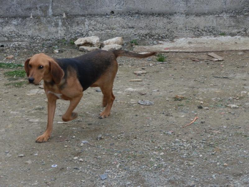 FICELLE - Femelle - X beagle - 4 ans  Beagle20
