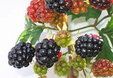arbres et arbustes fruitiers rustiques Images12