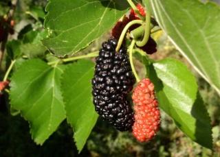 arbres et arbustes fruitiers rustiques Murier11