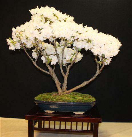 Mostra bonsai e Trofeo Città di Arzignano 25 aprile 2012 25-04-10
