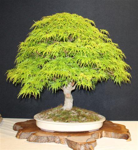 Mostra bonsai e Trofeo Città di Arzignano 25 aprile 2012 25-04-12