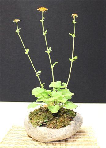 Mostra bonsai e Trofeo Città di Arzignano 25 aprile 2012 25-04-13