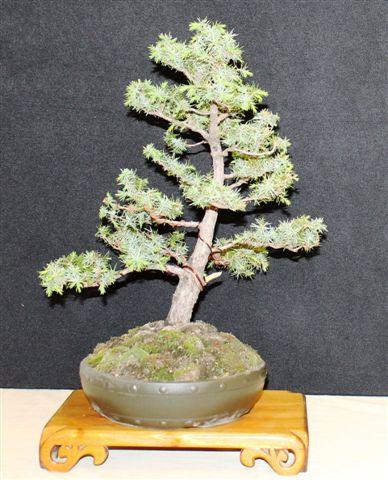 Mostra bonsai e Trofeo Città di Arzignano 25 aprile 2012 25-04-20