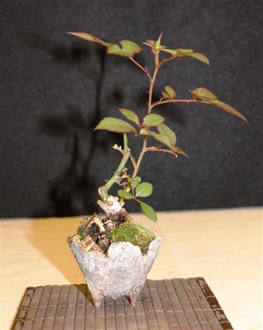 Mostra bonsai e Trofeo Città di Arzignano 25 aprile 2012 25-04-26