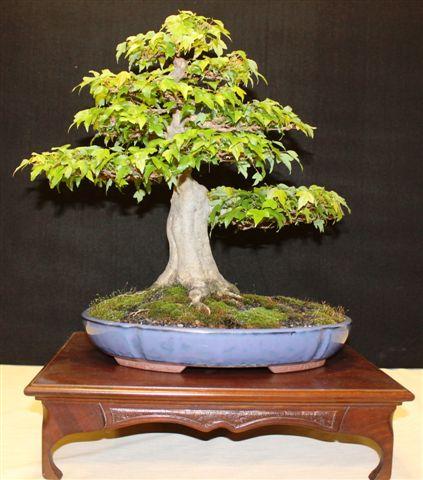 Mostra bonsai e Trofeo Città di Arzignano 25 aprile 2012 25-04-27