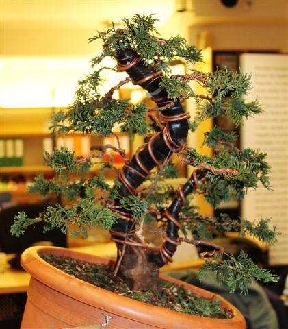 Mostra bonsai e Trofeo Città di Arzignano 25 aprile 2012 25-04-37