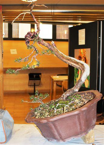 Mostra bonsai e Trofeo Città di Arzignano 25 aprile 2012 25-04-38
