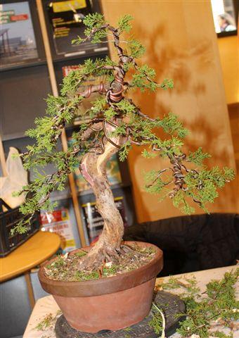 Mostra bonsai e Trofeo Città di Arzignano 25 aprile 2012 25-04-40