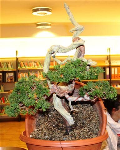 Mostra bonsai e Trofeo Città di Arzignano 25 aprile 2012 25-04-42