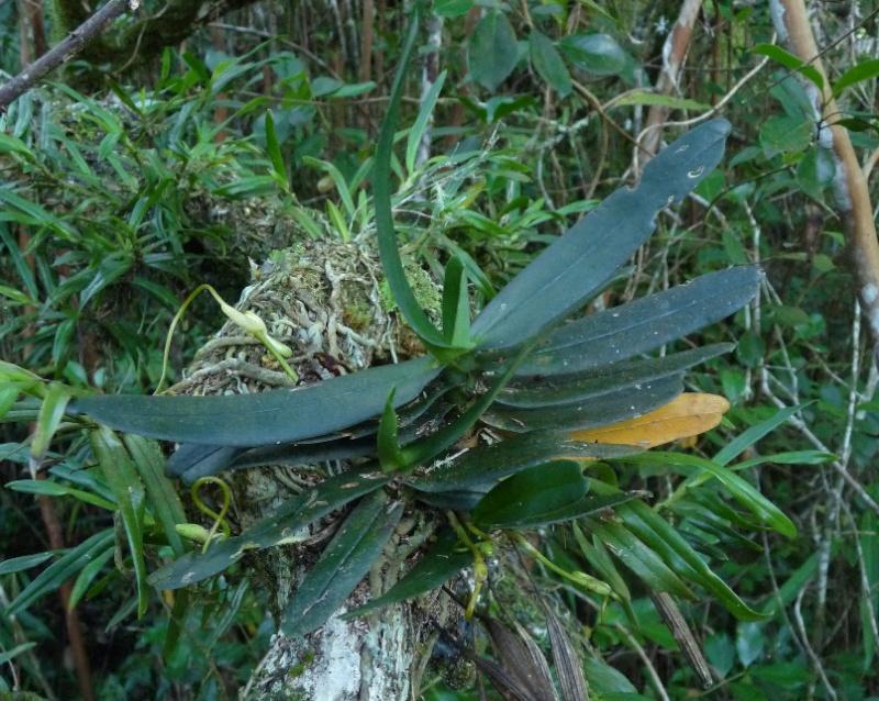 Jumellea divaricata: une rareté dans l'île 002110
