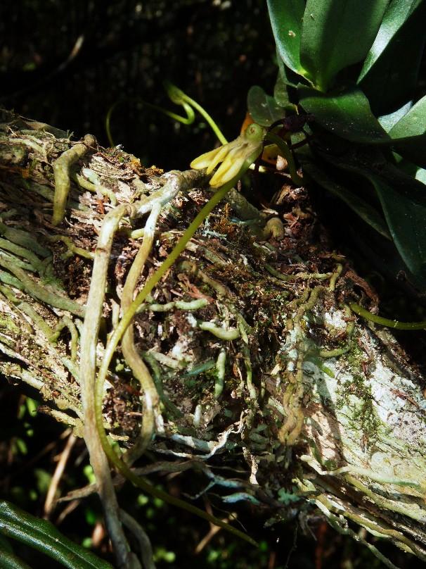 Jumellea divaricata: une rareté dans l'île 004111