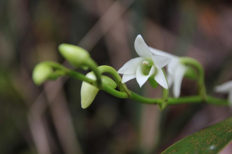 angraecum striatum 006112