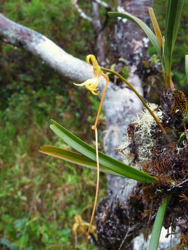 BIS :  jumellea stenophylla dans tous ses états 011110