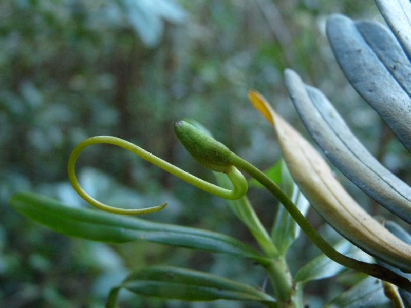 Jumellea divaricata: une rareté dans l'île 011111