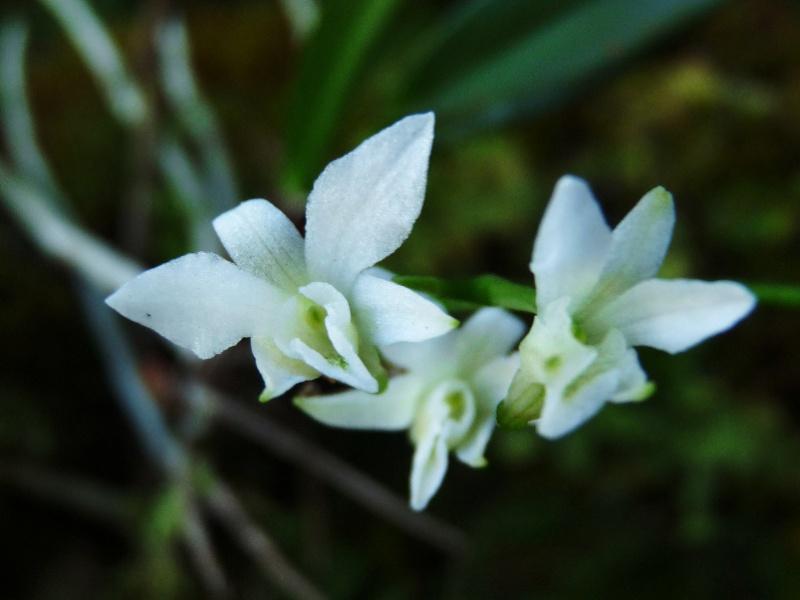 Béclardia macrostachia: floraison tardive 015111