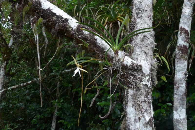 BIS :  jumellea stenophylla dans tous ses états 015112