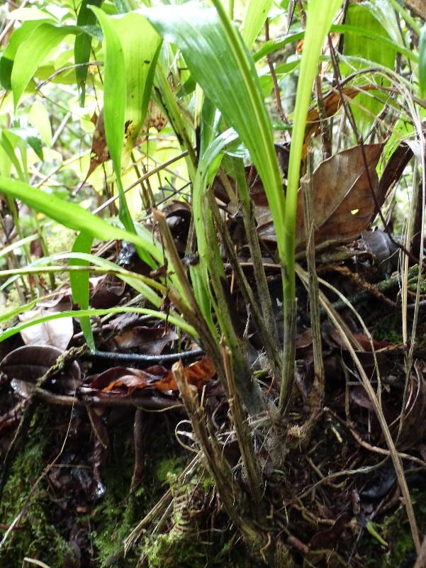 Gastrorchis lutea ssp longibracteata 016111