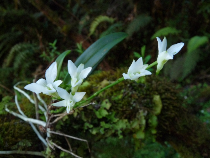 Béclardia macrostachia: floraison tardive 019111