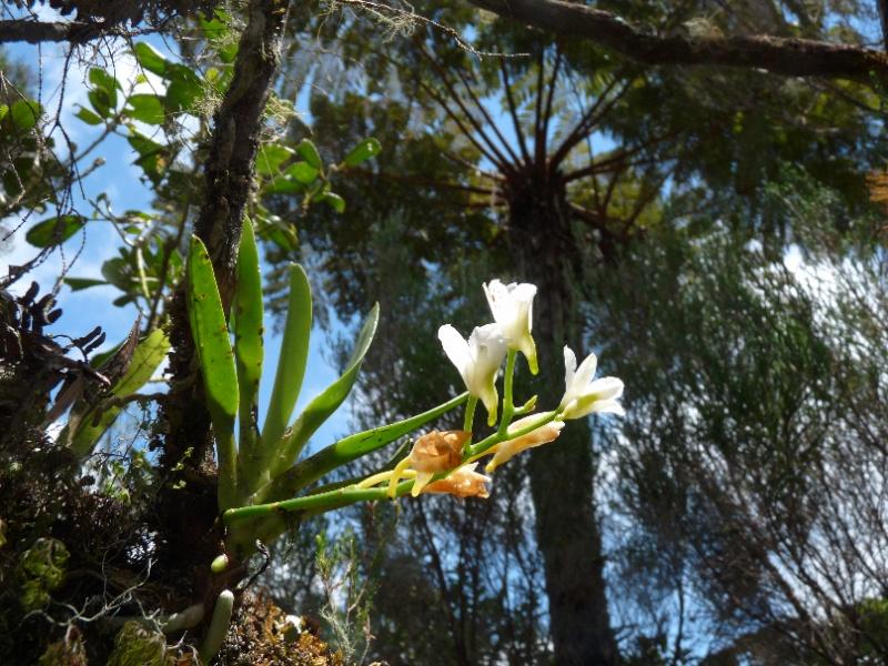 Béclardia macrostachia: floraison tardive 023112