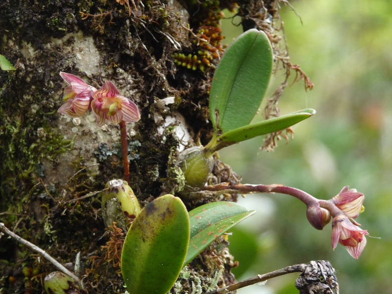 Bulbophyllum molossus 039112