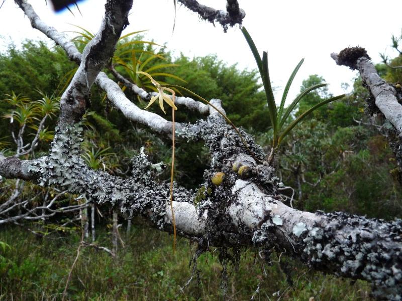 BIS :  jumellea stenophylla dans tous ses états 044110