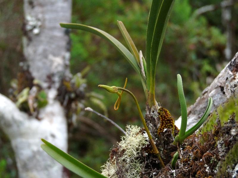 BIS :  jumellea stenophylla dans tous ses états 048110