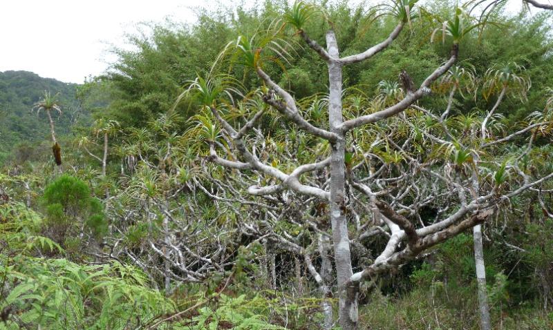 BIS :  jumellea stenophylla dans tous ses états 054110