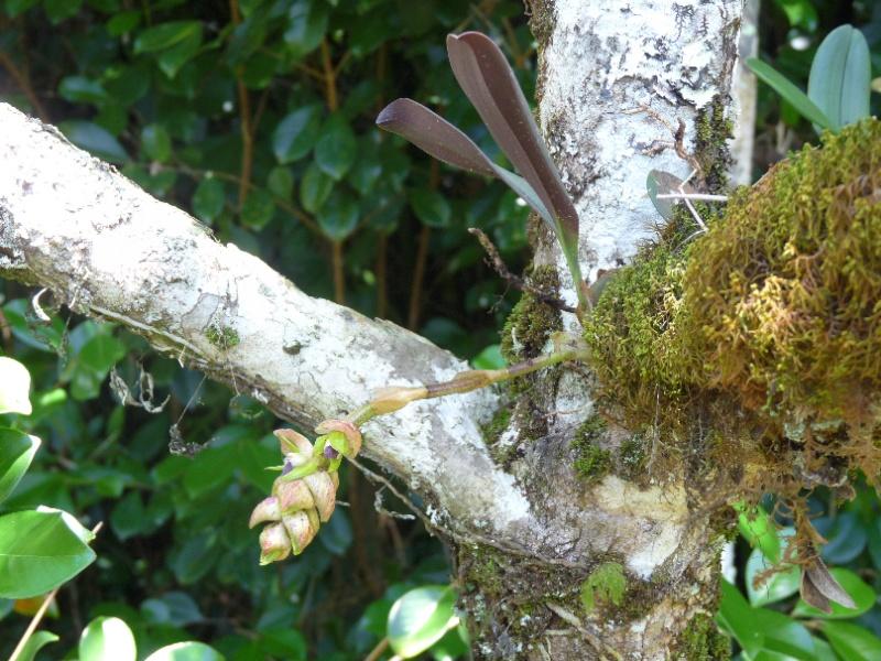 Bulbophyllum herbula   124110