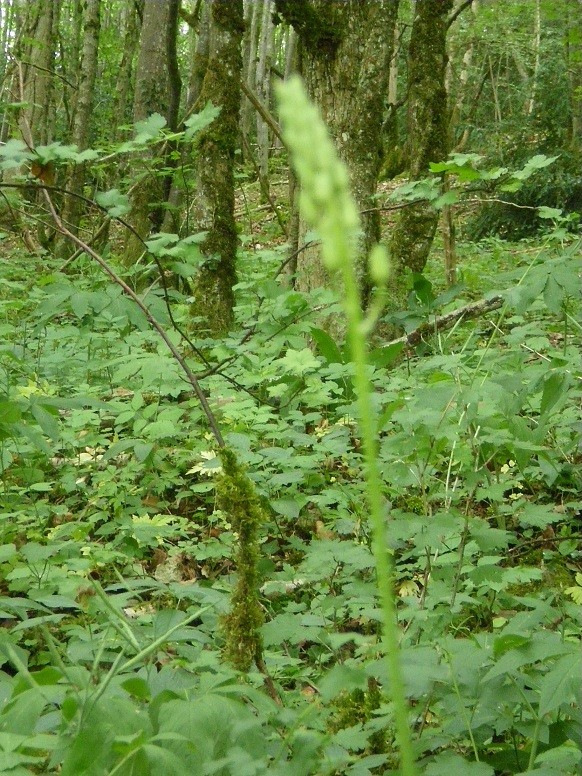 Plantes sauvages comestibles Asperg12
