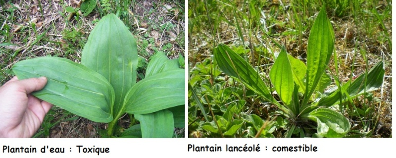 [Plantes] Reconnaitre les toxiques et mortelles Confus11