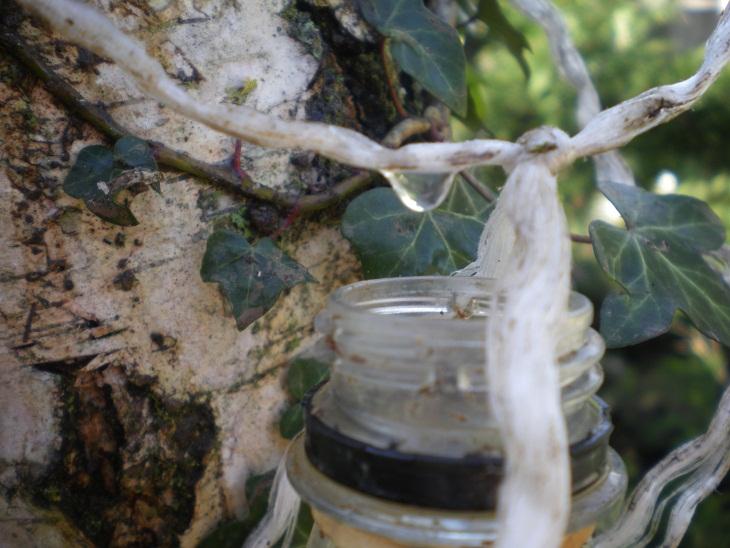 récolte de la sève de bouleau avec une ficelle Imgp2310