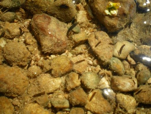 Juger de la qualitée de l'eau via la faune (Observation des bio-indicateurs) Imgp2510