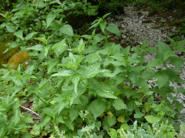 Plantes sauvages comestibles Ortie10