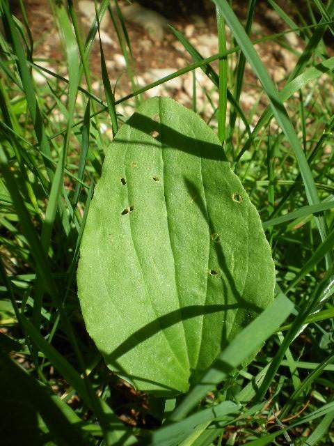 Plantes sauvages comestibles Petit_10