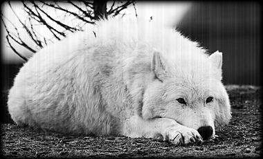 Larka The White Wolf 12643610