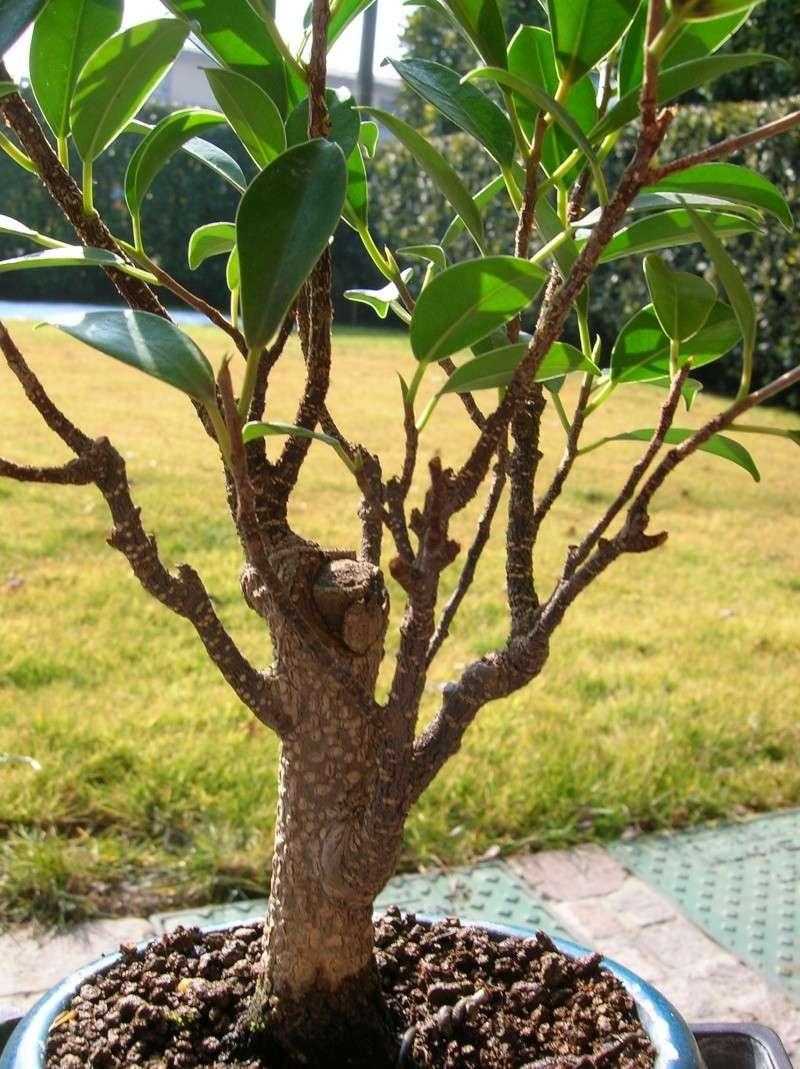 ficus gelato! - Pagina 2 Ficus_11