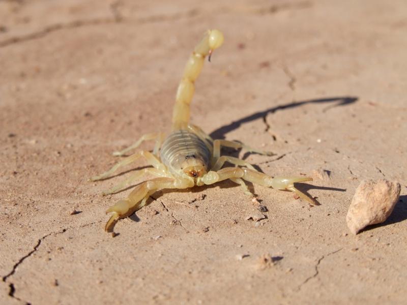 ID on scorpions found in Tamri north of Agadir in Morocco Dscf5611