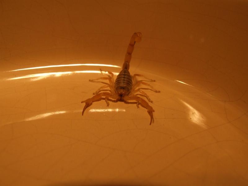 ID on scorpions found in Tamri north of Agadir in Morocco Dscf5711