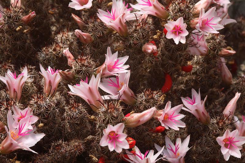 Mammillaria thornberi ssp yaquensis Img_0211